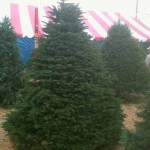 Grand Fir Holiday Tree in the San Fernando Valley